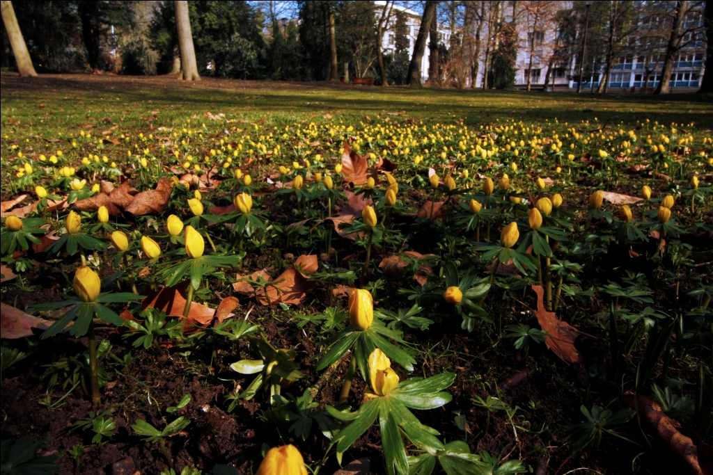 Carpet of yellow